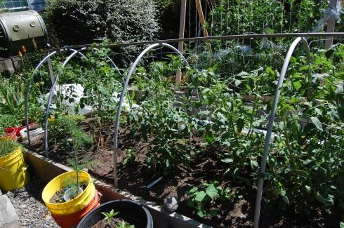 Tomato bed, June 21.
