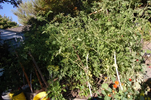 Tomato bed, July 30.